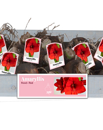 X 25 AMARYLLIS ROOD INCL. LABEL 34/36