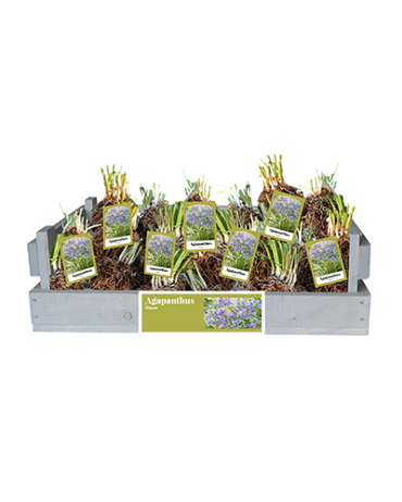 X 20 AGAPANTHUS BLAUW INCL. LABEL TOP