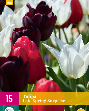 X 15 TULIPA LATE SPRING SURPRISE 11/12