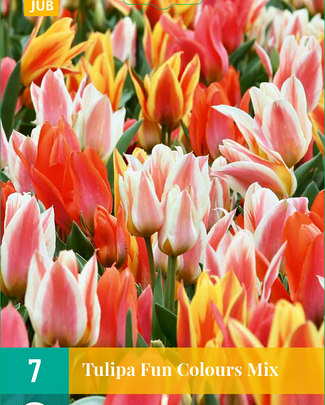 X   7 TULIPA FUN COLOURS 11/12