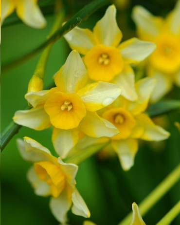 X 100 NARCISSUS NEW BABY 8/10