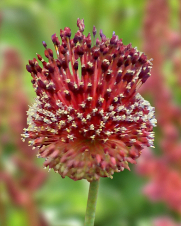 X   25 ALLIUM RED MOHICAN 10/+