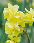 X 100 NARCISSUS YELLOW CHEERFULNESS 12/14