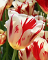 X 100 TULIPA GRAND PERFECTION 11/12
