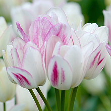 TULIPA CANDY CLUB