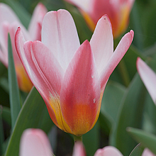 TULIPA HEART'S DELIGHT