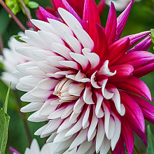 X 25 DAHLIA REBECCAS WORLD I