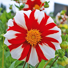 X 25 DAHLIA FIRE AND ICE I