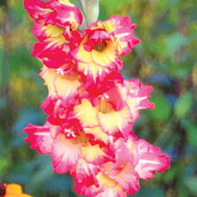 X 100 GLADIOLUS FAR WEST 12/14