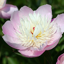 X 25 PAEONIA BOWL OF BEAUTY  2/3