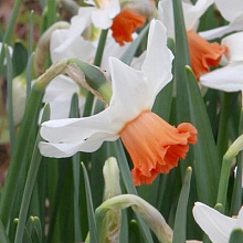 NARCISSUS CHARMING LADY