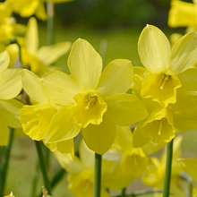 NARCISSUS LEMON SAILBOAT