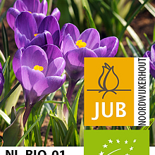 CROCUS SP. RUBY GIANT BIOLOGISCH