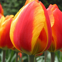 TULIPA FLAIR