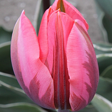 TULIPA PRETTY PRINCESS