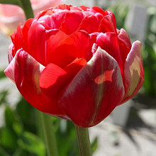 TULIPA RENOWN UNIQUE