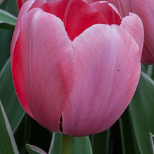 TULIPA SWEET IMPRESSION