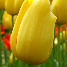 TULIPA BIG SMILE