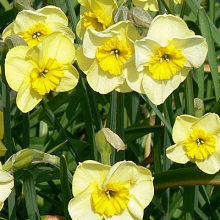 NARCISSUS SUN DISC