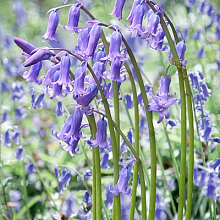 HYACINTHOIDES ENGLISH BLUEBELLS