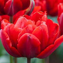 TULIPA RED PRINCESS