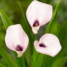 X 25 ZANTEDESCHIA CAPTAIN MELROSE 14/16