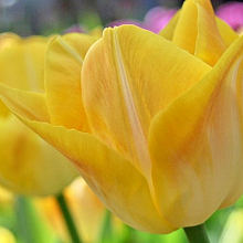 TULIPA GOLDEN DYNASTY