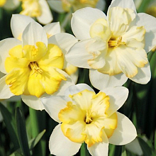 NARCISSUS CHANGING COLORS