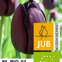 TULIPA QUEEN OF NIGHT BIOLOGISCH