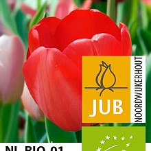 TULIPA RED IMPRESSION BIOLOGISCH