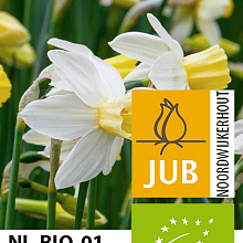 NARCISSUS SAILBOAT BIOLOGISCH