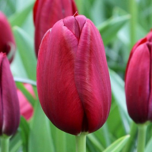 TULIPA NATIONAL VELVET