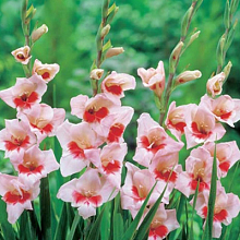 X 100 GLADIOLUS SHOCKING 10/12