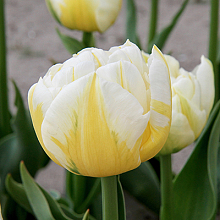 TULIPA FLAMING EVITA