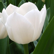 TULIPA ROYAL VIRGIN
