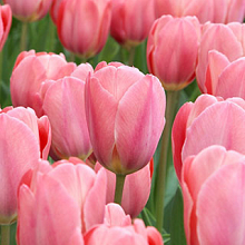 TULIPA DESIGN IMPRESSION