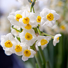 NARCISSUS AVALANCHE