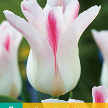 X   7 TULIPA HOLLAND CHIC 11/12