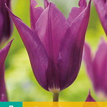 X   7 TULIPA PURPLE DREAM 11/12