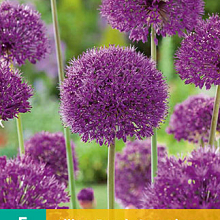 X   5 ALLIUM PURPLE SENSATION 12/14