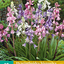 X 10 HYACINTHOIDES HISPANICA MIX 8/10