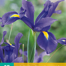 X 25 IRIS HOLLANDICA BLAUW NJ 7/8