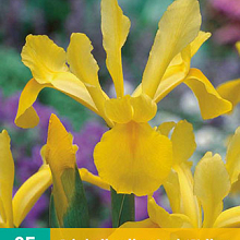 X 25 IRIS HOLLANDICA GEEL NJ 7/8