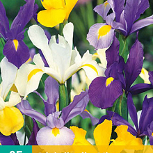 X 25 IRIS HOLLANDICA MIX NJ 7/8