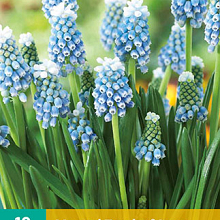 X 10 MUSCARI TOUCH OF SNOW 5/6