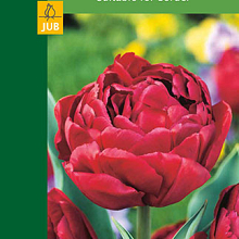 X  5 TULIPA DOUBLE RED 10/11