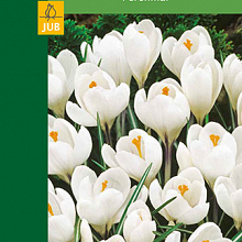 X  8 CROCUSES LARGE FLOWERING WHITE 7/8