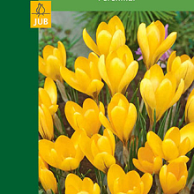 X  8 CROCUSES LARGE FLOWERING YELLOW 7/8
