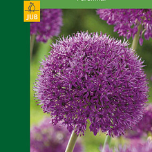 X  1 ALLIUM PURPLE SENSATION 10/12