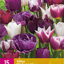 X 15 TULIPA BLUEBERRY MIX 11/12